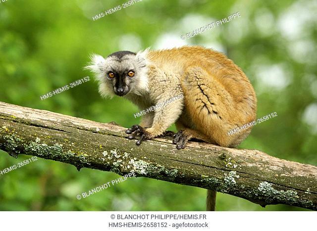 France, Vienne, Romagne, The Monkeys Valley, Black lemur (Eulemur macaco)