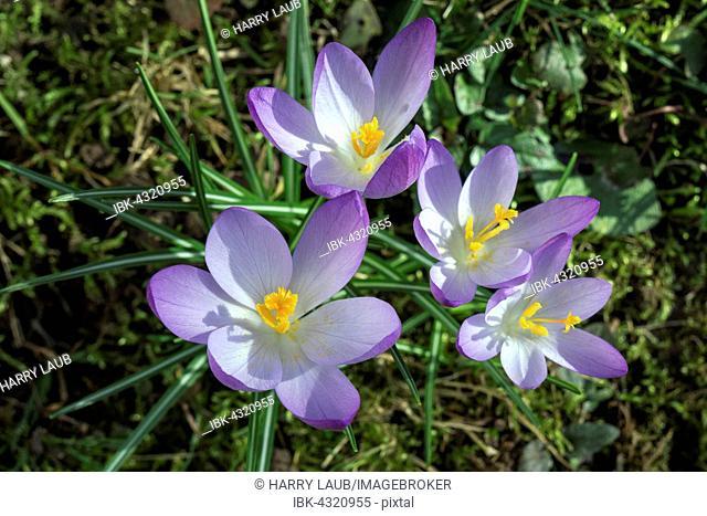 Crocus (Crocus), flowers, purple, Baden-Württemberg, Germany