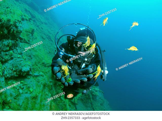 diver releases amphipods, Acanthogammarus (victorii maculosus), Lake Baikal, Siberia, the Russian Federation, Eurasia