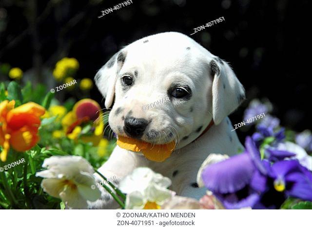 Dalmatinerwelpe, vier Wochen alt, Portraet, knabbert an Stiefmuetterchen Blueten / Dalmatian puppy, four weeks old, portrait, nibbles at flowering pansy