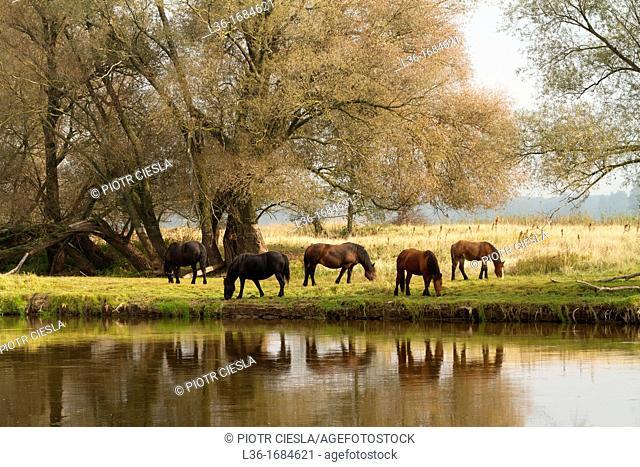 Viliage horses on the Bug river  Podlasie region  Poland