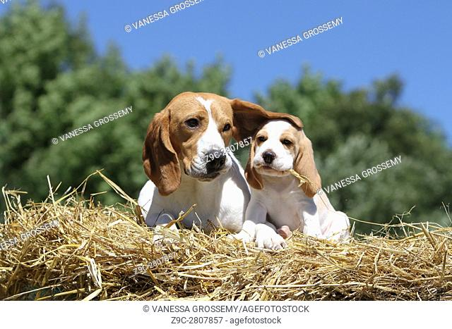 An adult beagle dog and a puppy in a Field