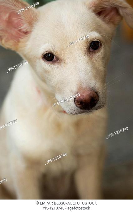 hound labrador dog close-up