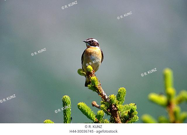 Whinchat, Saxicola rubetra, Turdiae, male, bird, animal, Seeberge, Alps, Andeer, Canton of Grisons, Switzerland