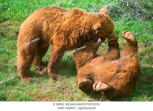 brown bear Ursus arctos youngs playing. Park of Nature . Cabarceno, Cantabria, Spain
