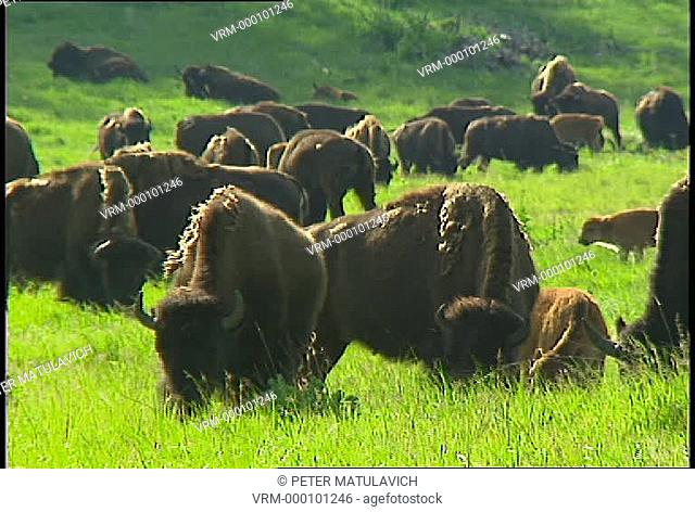 American bison Bison bison, commonly known as buffalo in North America, grazing in meadow in Custer State Park, South Dakota