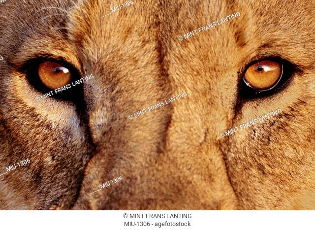 Lion face, Panthera leo, Ngorongoro Conservation Area, Tanzania