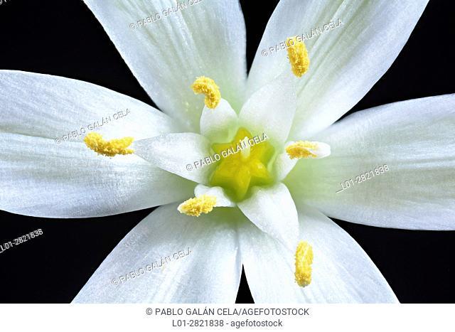 Stamens, flower, white, gynoecium, six, petals, Ornithogalum, monocot