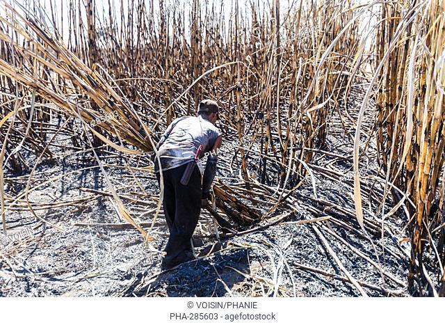 Harvesting sugar cane (Saccharum officinarum), in Zafra, Guatemala