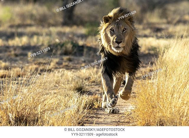 African Lion (Panthera leo) [Captive] - AfriCat Foundation, Okonjima Nature Reserve, Namibia, Africa