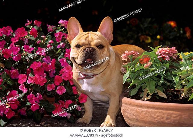 Dog: French Bulldog