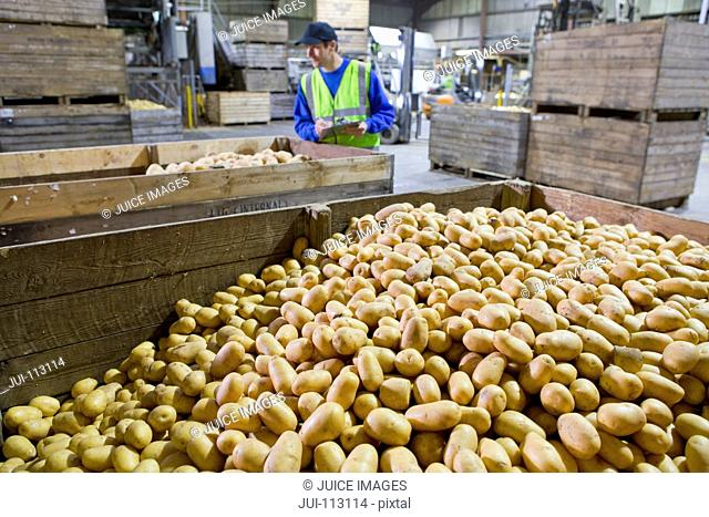 Worker with clipboard examining bins of fresh harvested potatoes