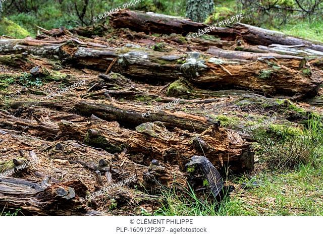Pile of decaying pine tree trunks left to rot on forest floor as dead wood, habitat for invertebrates, mosses and fungi