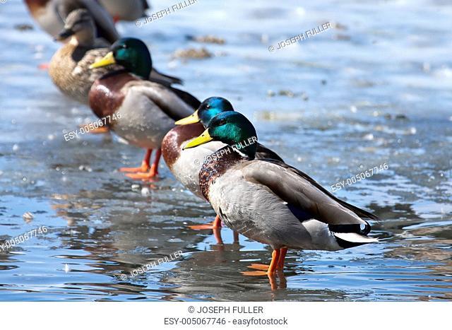 Mallard ducks lined up