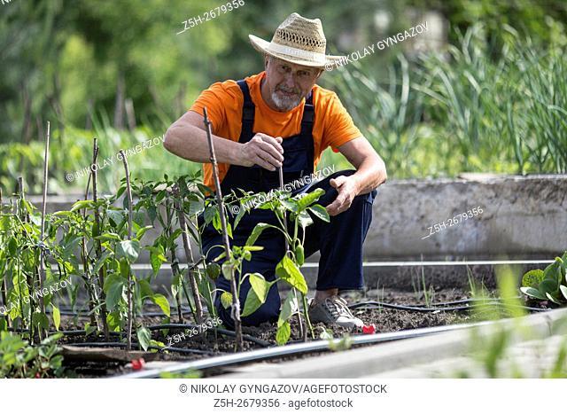 Russia. Belgorod region. Elderly man working in the garden. Cultivation of vegetables