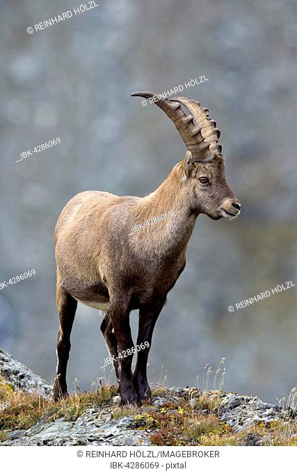Alpine ibex (Capra ibex), male, Kaiser-Franz-Josefs-Höhe, High Tauern National Park, Carinthia, Austria