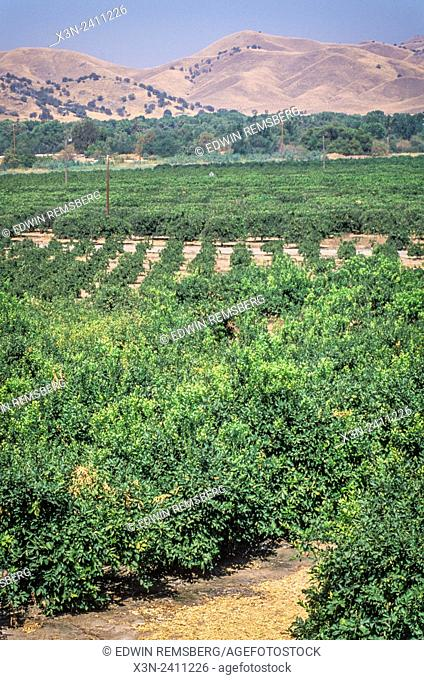 CENTRAL VALLEY, CALIFORNIA - Citrus Grove