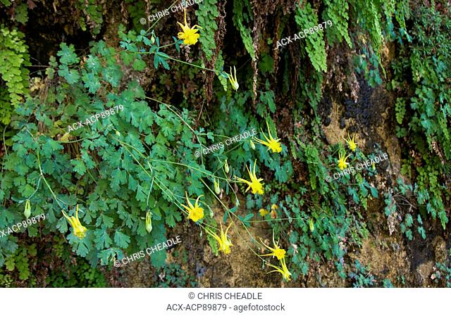 Aquilegia flavescens, Yellow Columbine, Colorado River, Grand Canyon, Arizona, United States