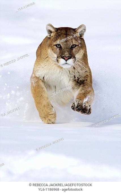 North America, USA, Montana  Cougar captiverunning through snow