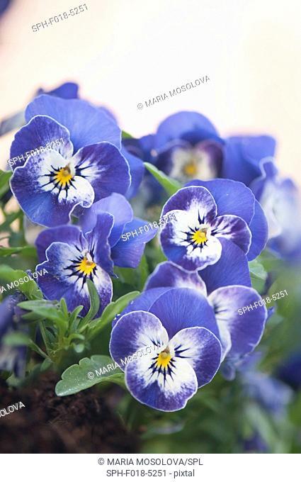 Light blue pansies (Viola cornuta Sorbet XP Delft Blue)