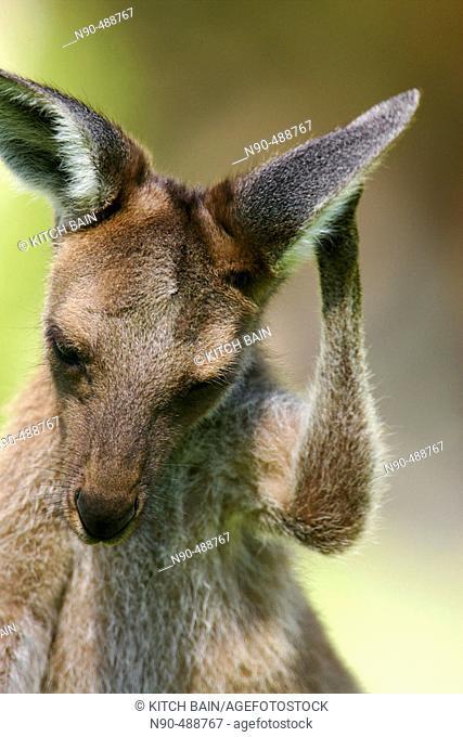 Kangaroo. Australia