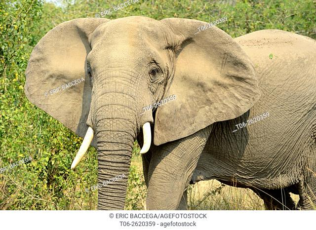 African Elephant (Loxodonta africana) female portrait, Queen Elizabeth National Park, Uganda, Africa
