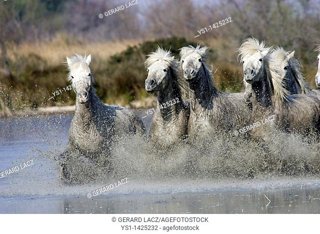 CAMARGUE HORSE, HERD GALLOPING IN WATER, SAINTES MARIE DE LA MER IN THE SOUTH OF FRANCE