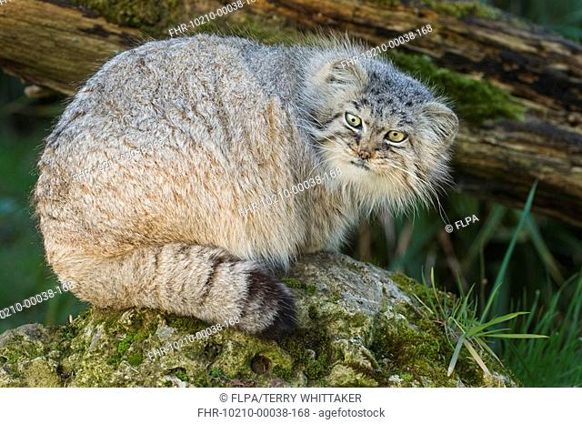 Pallas's Cat Felis manul adult, winter coat, resting on rock, captive