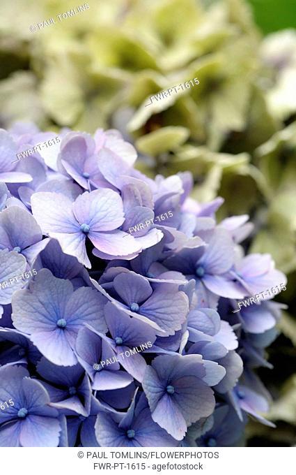 Hydrangea, Lacecap hydrangea, Hydrangea macrophylla 'Amethyst', Mauve coloured flowerheads growing oudoor