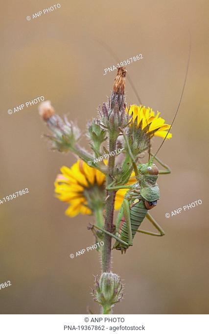 Saddle-backed Bush-cricket Ephippiger ephippiger - Niort, Deux-SÃ…vres, Poitou-Charentes, France, Europe