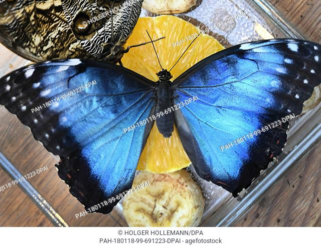 A Peleides blue morpho butterfly sits on a piece of fruit at the Tropenschauhaus of the Herrenahausen Gardens in Hanover, Germany, 16 January 2018