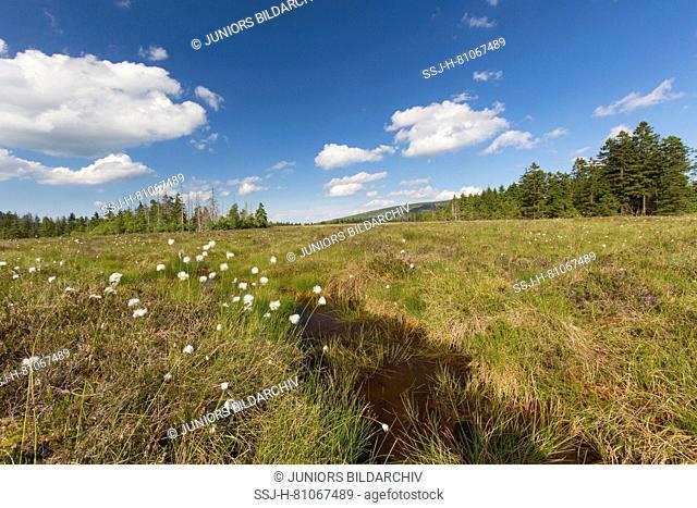 Grosses Torfhausmoor, a bog inside the Harz National Park. Lower Saxony, Germany