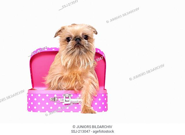 Brussels Griffon. Adult bitch sitting in a small suitcase. Studio picture against a white background. Germany