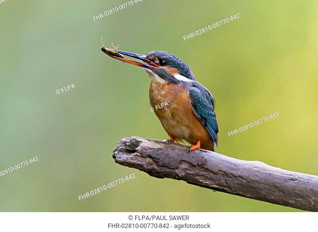 Common Kingfisher (Alcedo atthis) adult female, with dragonfly nymph in beak, perched on branch, Suffolk, England, May