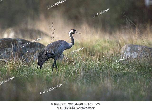 Common Crane ( Grus grus ) adult in beautiful breeding dress, on grassland, in perfect low light, Sweden, , wildlife, Europe