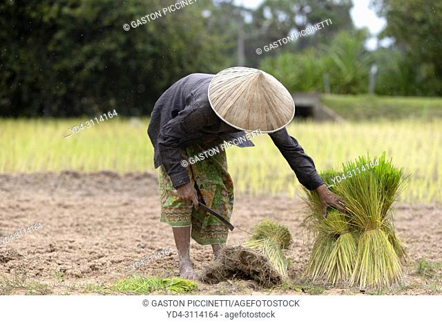 Woman preparing small rice plants for later planting, Angkor, Siem Reap Province, Kingdon of Cambodia