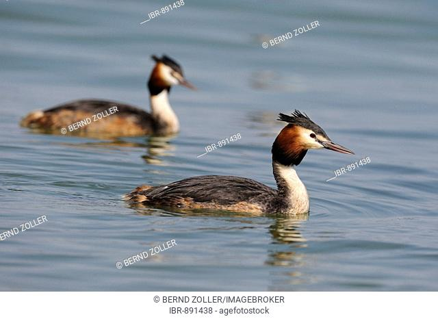 Great Crested Grebe (Podiceps cristatus) breeding pair swimming, Lake Constance, Konstanz, Baden-Wuerttemberg, Germany, Europe
