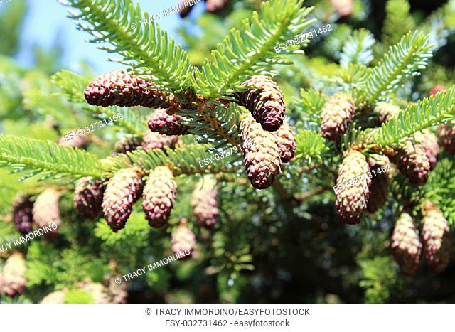 Close up of conifer tree branches covered in pinecones using a bokeh effect