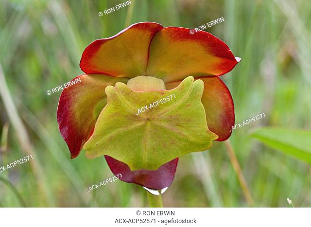 The flower on a Northern Pitcher Plant Sarracenia purpurea in Gros Morne National Park on Newfoundland - this carnivorous plant is the Provincial Flower of...