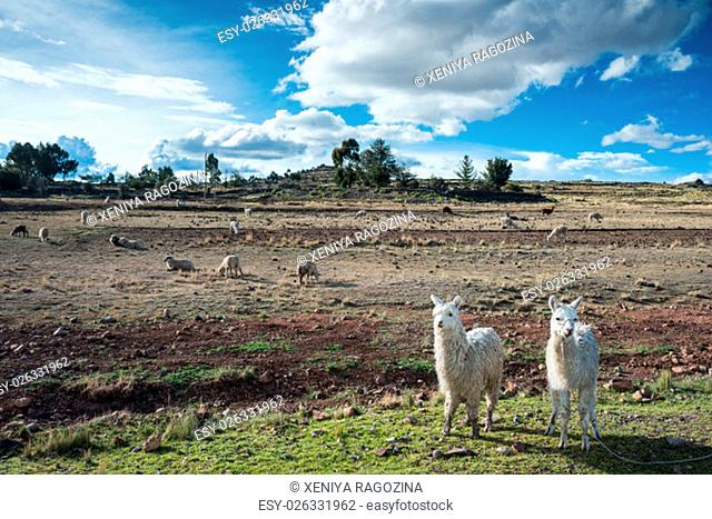 llamas are front of Terraced Inca fields and ruins of village in the Andes, Puno, Peru, South America