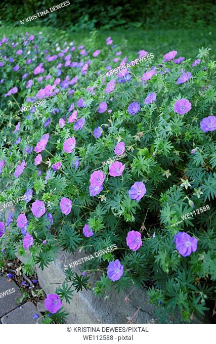 Some purple perennial Geraniums along a path