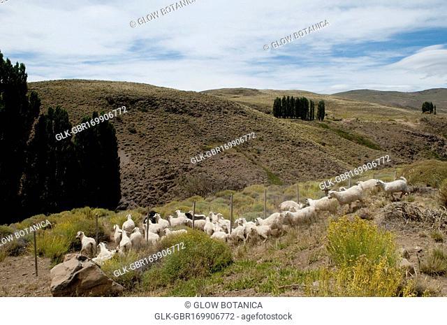 Herd of sheep grazing on a hill, Cordillera de los Andes, Argentina