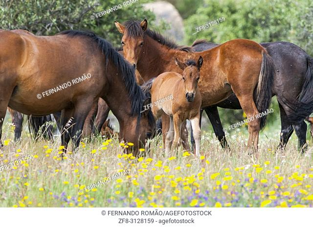 Garrano horses at Faia Brava Reserve, Portugal