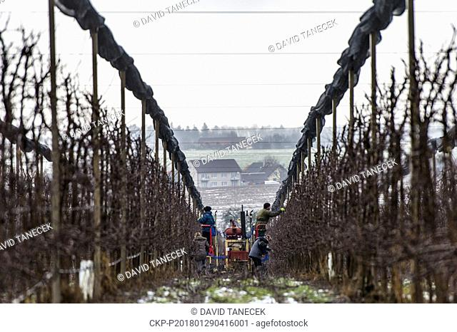 Winter fruit tree pruning in Dolany, Czech Republic, on Monday, January 29, 2018. (CTK Photo/David Tanecek)