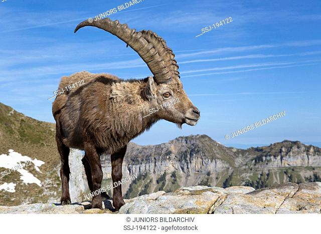 Alpine Ibex (Capra ibex). Male standing on a rock. Switzerland