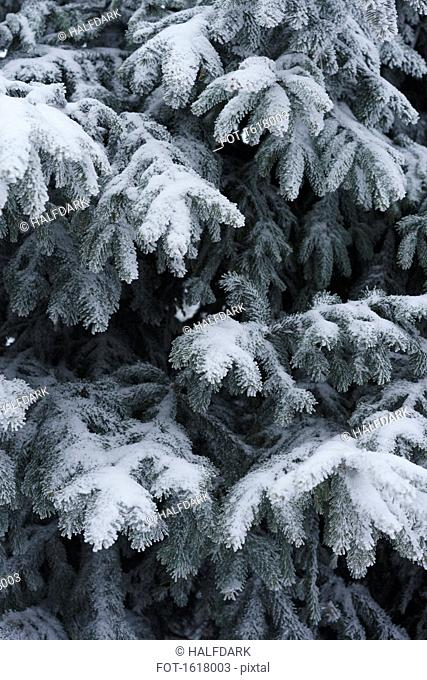 Full frame shot of snow covered pine trees