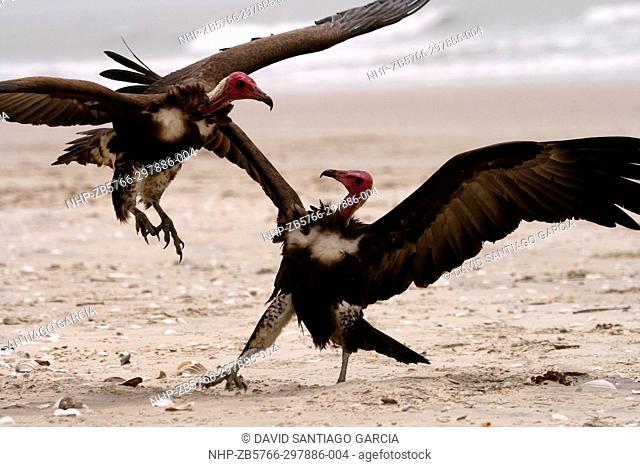 hooded vulture (Necrosyrtes monachus), standing on beach, Senegal, Casamance