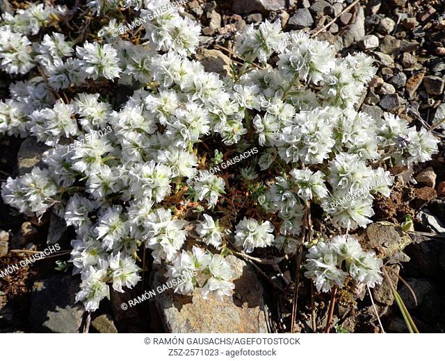 Capitate-flowered Paronychia (Paronychia capitata). Catalonia, Spain