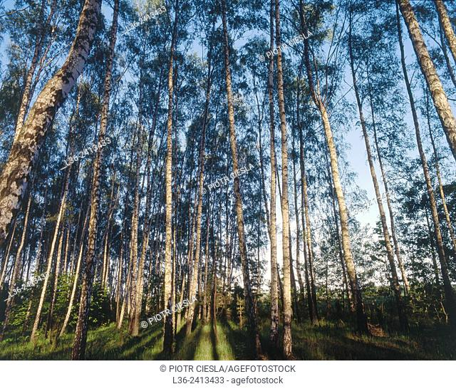 Birch grove. Podlasie region. Poland