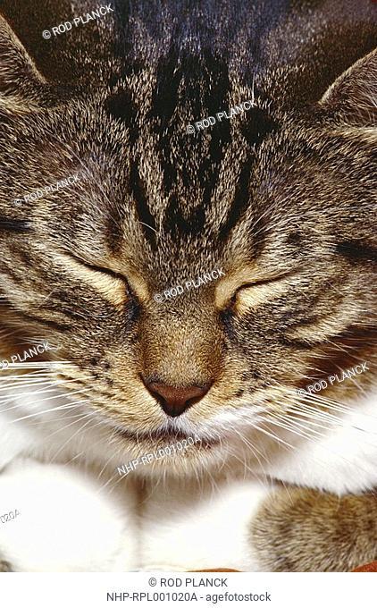 TABBY CAT female, asleep face detail